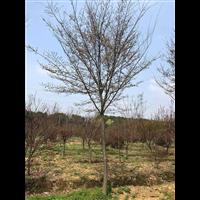 江苏榉树价格