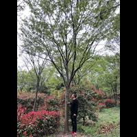 江苏榉树哪家便宜