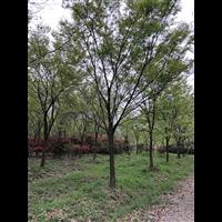 江苏榉树种植基地