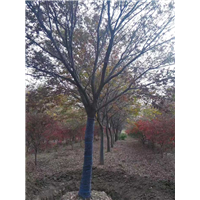 江苏大量榉树批发