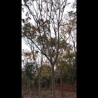 10公分榉树价格