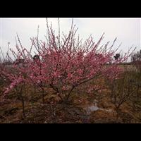 江苏红梅树苗价格
