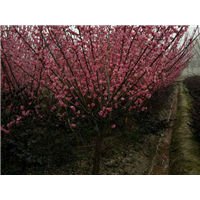 江苏大量供应红梅