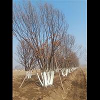 河北蒙古栎
