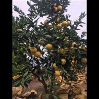 葡萄柚果树