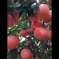 台湾红宝石葡萄柚