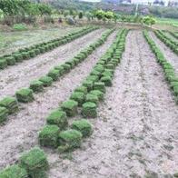 三水公園草皮種植批發
