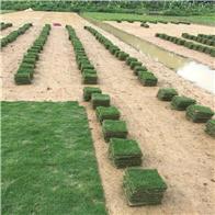 佛山草皮种植基地