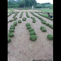 高明大叶油草坪基地
