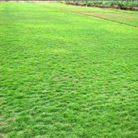 广州大叶油草坪基地