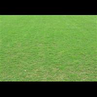 佛山夏威夷草坪批发