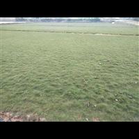 夏威夷草坪基地