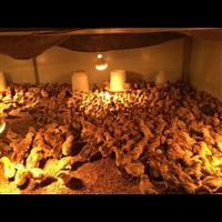 四川本地今日土鸡苗批发价格出壳脱温苗五黑鸡厂家直供量大从优