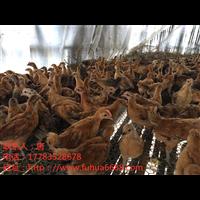 优质产蛋鸡管理洪发禽业专业鸡苗批发