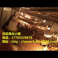 高产绿壳蛋鸡苗五黑鸡苗批发送货到家