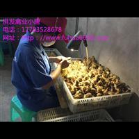 五黑鸡青脚麻批发厂家洪发禽业量大优惠