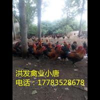 湖南今日鸡苗批发价格鸡苗批发厂家直销