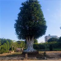 福建小叶榕树