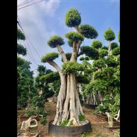 福建造型榕树盆景价格