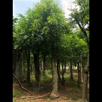 福建造型榕树盆