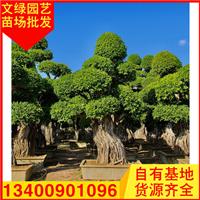 福建造型榕树盆景