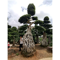 福建造型小叶榕桩头