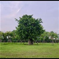 全冠小叶榕风景树绿化树