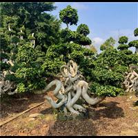造型小叶榕怪根造型根
