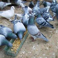 青岛元宝鸽销售