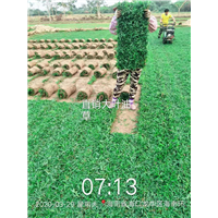 海南大叶油草1