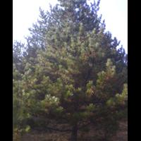 河北白桦苗木供应