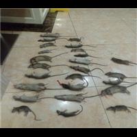 抚州灭鼠企业教你判断鼠类的密度