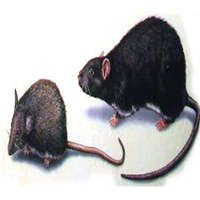 拉萨灭老鼠多种灭老鼠的好方法