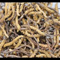 新都虫草回收
