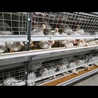 白羽鸡养殖