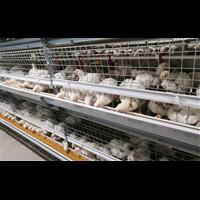 白羽鸡养殖2