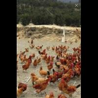 艾维茵肉食鸡
