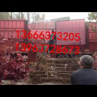美国红枫造型工程苗木