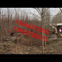 山东美国红枫种植技术