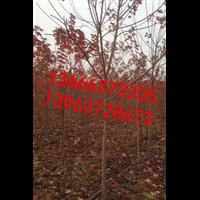 山东美国红枫繁育基地