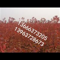美国红枫繁育基地