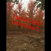 彩叶苗木美国红枫