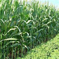 原平市甜玉米種植基地