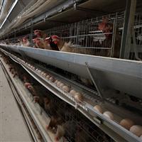 专业养殖蛋ぷ鸡技术