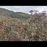 山里※红种植2