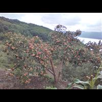 山里红种植4
