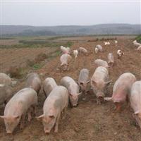 养殖猪�y色��影的环境