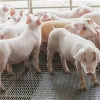 专业养殖■猪