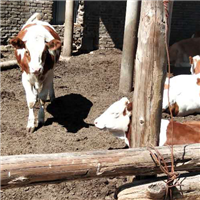 保質飼養牛