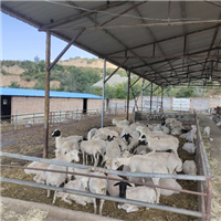 優質品種羊